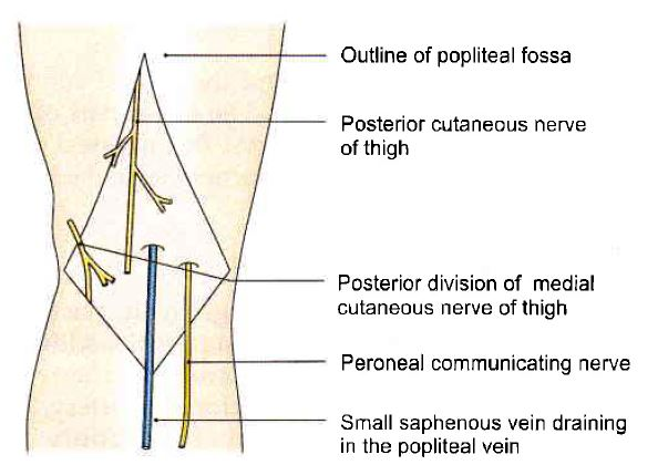 Structured in the roof of the popliteal fossa