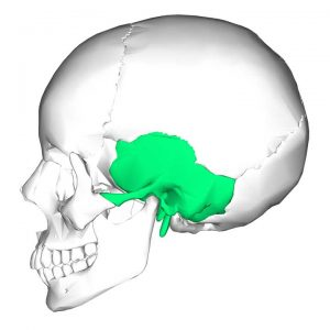 Temporal Bone with Styloid Process