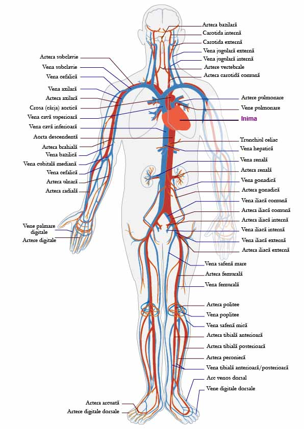 Circulatory System of the Body